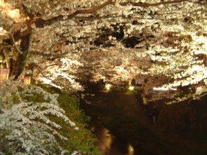 やはりここの夜桜はきれいだね