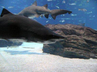 見所の、巨大水槽のサメ