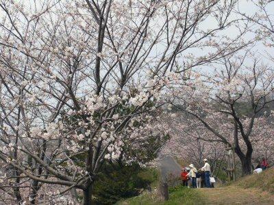 小野田竜王山。つぼみがあるのに、葉桜に・・・