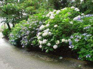 阿弥陀寺にはもっともっとたくさんのあじさいが咲いてます。これはほんの一部です。